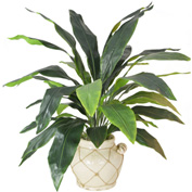 Creative Displays Green Aspidistra Plant In Cream Ceramic Pot With Rope Embellishment