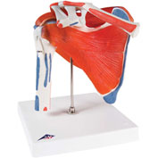 3B® Anatomical Model - Shoulder Joint with Rotator Cuff