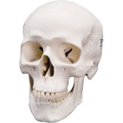 3B® Anatomical Model - Classic Skull, 3-Part
