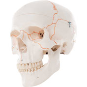 3B® Anatomical Model - Classic Skull, 3-Part Numbered