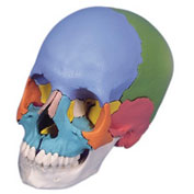 3B® Anatomical Model - Didactic Skull, Beauchene 22-Part