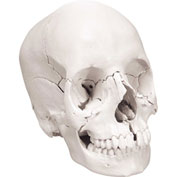 3B® Anatomical Model - Anatomical Skull, Beauchene 22-Part