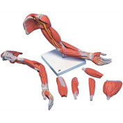3B® Anatomical Model - Deluxe Muscular Arm, 6-Part