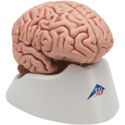 3B® Anatomical Model - Classic Brain, 5-Part