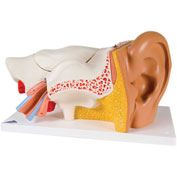 3B® Anatomical Model - Classic Ear, 6-Part (3X Size)