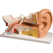 3B® Anatomical Model - Deluxe Ear, 4-Part (3X Size)
