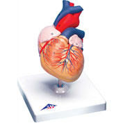 3B® Anatomical Model - Heart, 2-Part