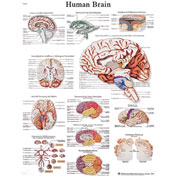 3B® Anatomical Chart - Brain, Sticky Back