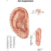 3B® Anatomical Chart - Acupuncture Ear, Laminated