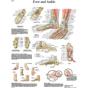 3B® Anatomical Chart - Foot & Ankle, Sticky Back