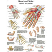3B® Anatomical Chart - Hand & Wrist, Sticky Back