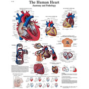 3B® Anatomical Chart - Heart, Laminated