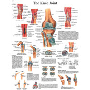 3B® Anatomical Chart - Knee Joint, Laminated