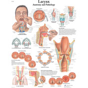 3B® Anatomical Chart - Larynx, Laminated