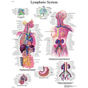 3B® Anatomical Chart - Lymphatic System, Laminated