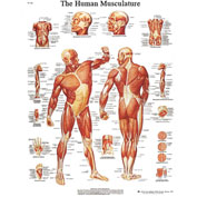 3B® Anatomical Chart - Musculature, Laminated