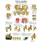 3B® Anatomical Chart - Hip & Pelvis, Laminated