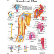 3B® Anatomical Chart - Shoulder & Elbow, Laminated