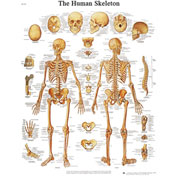 3B® Anatomical Chart - Skeleton, Sticky Back