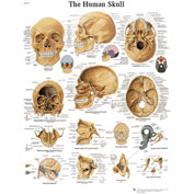 3B® Anatomical Chart - Skull, Sticky Back