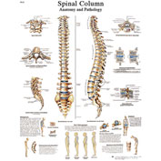 3B® Anatomical Chart - Spinal Column, Sticky Back