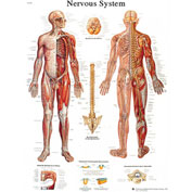3B® Anatomical Chart - Nervous System Chart, Sticky Back
