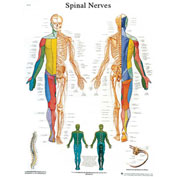 3B® Anatomical Chart - Spinal Nerves, Sticky Back