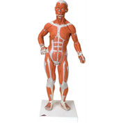 3B® Anatomical Model - 1/4 Life Size Muscle Figure, 2-Part