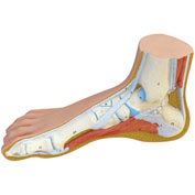 3B® Anatomical Model - Normal Foot
