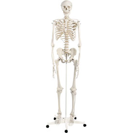 3B Anatomical Model Stan The Classic Skeleton on Roller Stand by
