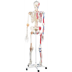 3B Anatomical Model Sam The Super Skeleton on Roller Stand by