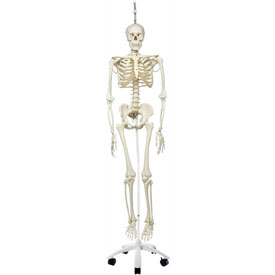 3B Anatomical Model Phil The Physiological Skeleton on Roller Stand by