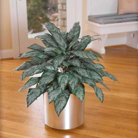 "OfficeScapesDirect 30"" Silver Queen Silk Plant"